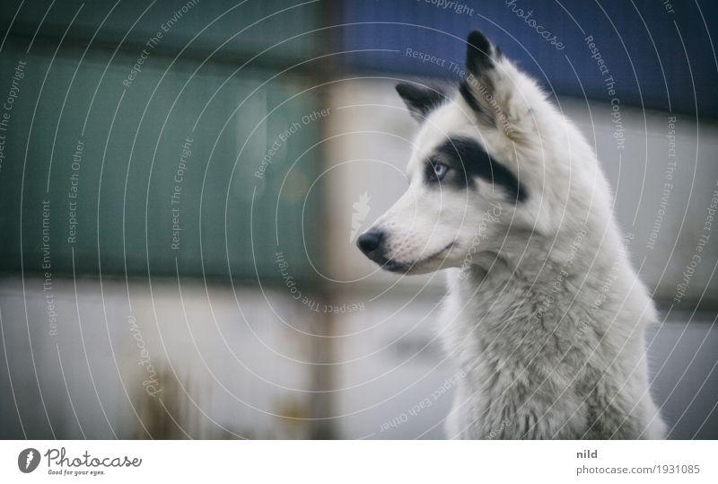 Stadthund Menschenleer Industrieanlage Fassade Tier Haustier Hund 1 beobachten ästhetisch außergewöhnlich niedlich trist weiß Tierliebe Laika Container Jagdhund