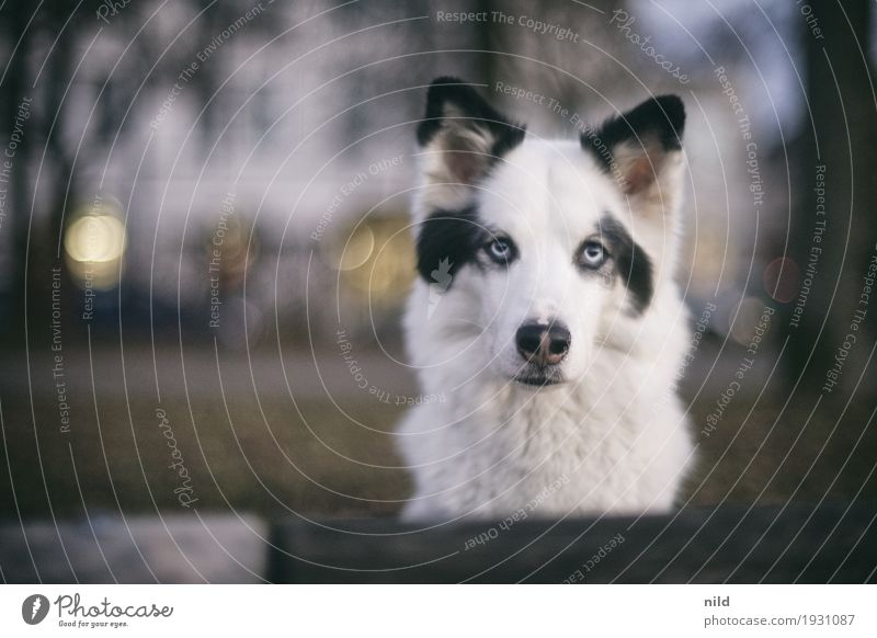 Hello Lifestyle Freizeit & Hobby Stadt Haus Tier Haustier Hund 1 beobachten Blick warten ästhetisch außergewöhnlich elegant weiß achtsam Wachsamkeit Neugier