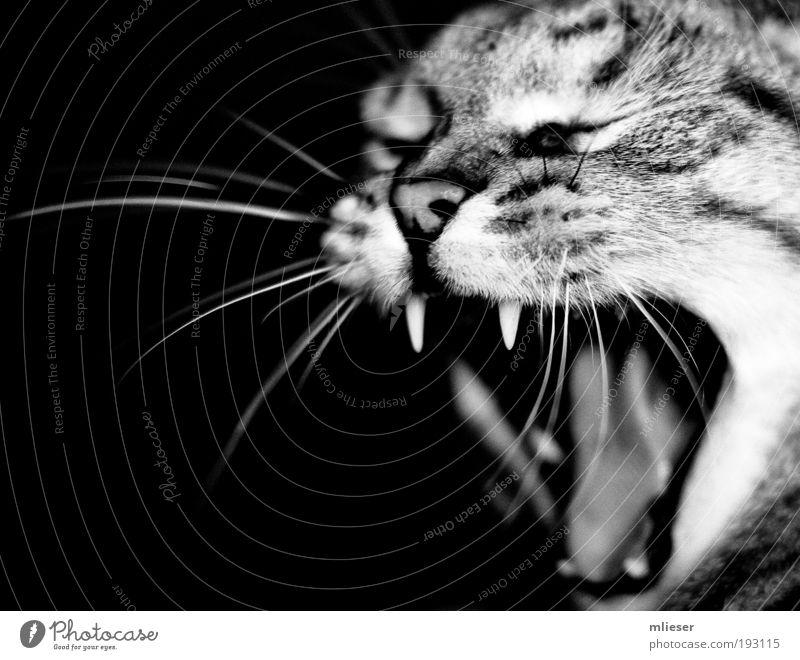 Grisu the cat Tier Haustier Katze 1 atmen kämpfen schreien Aggression niedlich stark Wut schwarz weiß Kraft Ärger Feindseligkeit Nase Zunge Gebiss Auge Zwinkern
