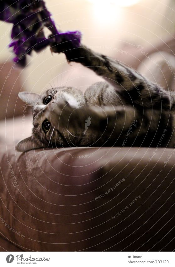Spielende Katze Katze Tier Auge Spielen grau braun liegen bedrohlich Ohr Fell Tiergesicht violett Sofa Jagd hängen kämpfen