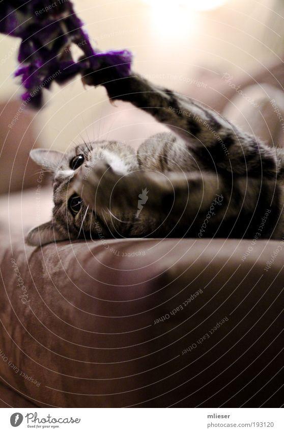 Spielende Katze Tier Auge grau braun liegen bedrohlich Ohr Fell Tiergesicht violett Sofa Jagd hängen kämpfen