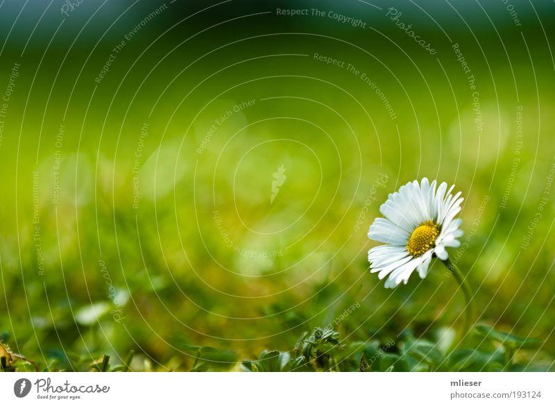Lonely Gänseblümchen Natur schön weiß Blume grün Pflanze gelb Wiese Blüte Gras Umwelt frei Sträucher einfach natürlich außergewöhnlich
