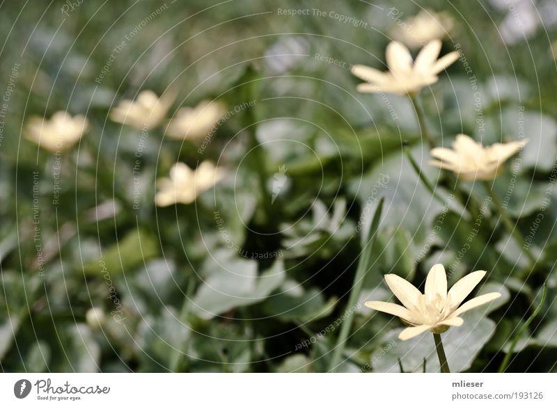 Scharbockskraut Blume grün Pflanze ruhig Blatt gelb Blüte Gras natürlich Stengel Duft sanft Grünpflanze