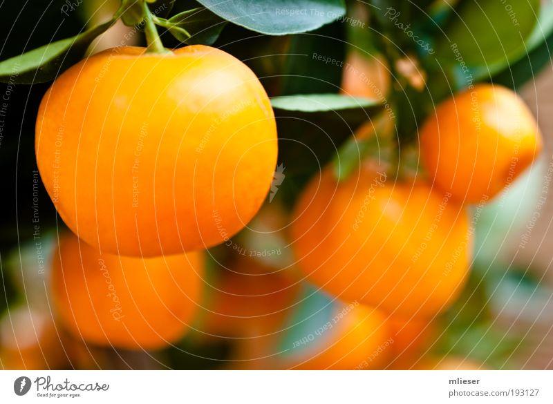 Mandarinen grün gelb Frucht viele lecker Stengel Zitrusfrüchte Mandarine Südfrüchte Unschärfe