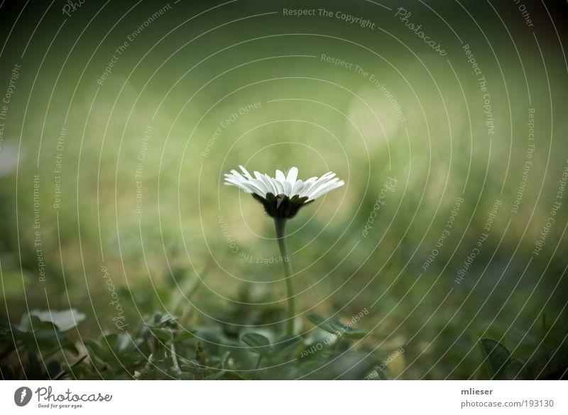 Das letzte Gänseblümchen weiß Blume grün Pflanze Einsamkeit Wiese Gras elegant einzigartig fantastisch Stengel Gänseblümchen Detailaufnahme