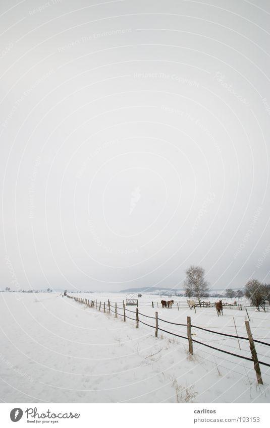 Ich will Sommer weiß Winter ruhig Tier Ferne kalt Schnee Erholung Wiese Freiheit grau Traurigkeit Landschaft Eis Feld Pferd