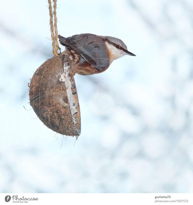 Herr Kleiber beim Frühstück weiß Tier Winter Umwelt kalt natürlich Schnee Garten Vogel frei Eis Wildtier sitzen Schönes Wetter beobachten Neugier