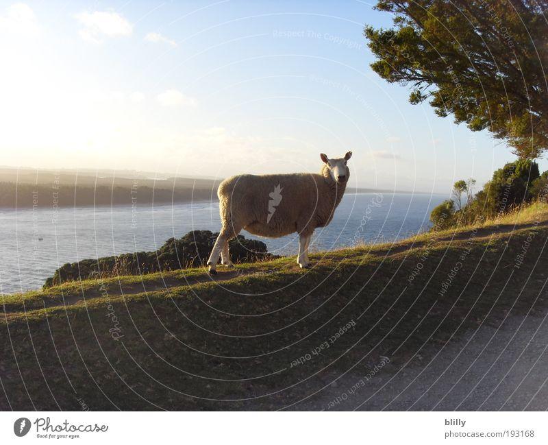 Abendstunde im Leben eines Schafs Natur Wasser Himmel Meer Sommer Strand Ferien & Urlaub & Reisen Tier Ferne Erholung Bewegung träumen Landschaft Zufriedenheit Küste Erde