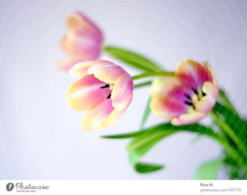 Frühling !!! elegant Stil Muttertag Pflanze Tulpe Dekoration & Verzierung Blühend genießen ästhetisch natürlich positiv grün rosa Glück Zufriedenheit