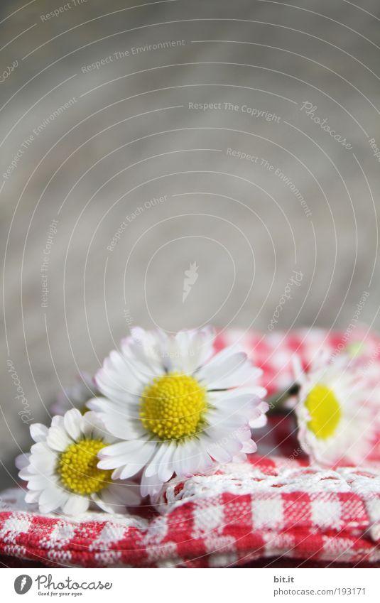 KLEINKARIERT Glück Sommer Pflanze Blume Blüte Gänseblümchen Blühend Duft frisch rot Stimmung Lebensfreude Frühlingsgefühle Optimismus Romantik kariert Stoff