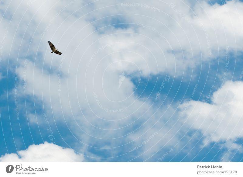Herrscher der Lüfte Ferien & Urlaub & Reisen Ausflug Freiheit Sommer Meer Natur Luft Himmel Wolken Küste Strand Tier Vogel 1 fliegen Greifvogel blau weiß