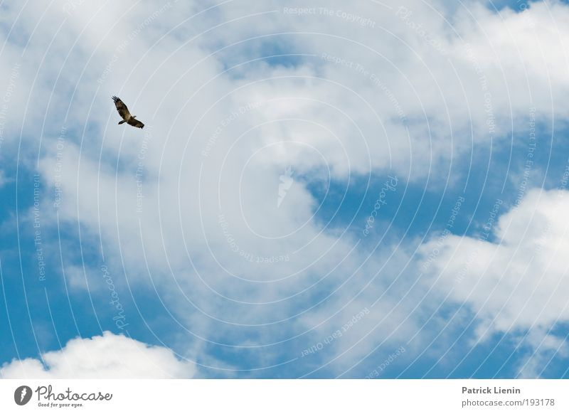 Herrscher der Lüfte Natur Himmel weiß Meer blau Sommer Strand Ferien & Urlaub & Reisen Wolken Tier oben Freiheit Luft Vogel Küste fliegen