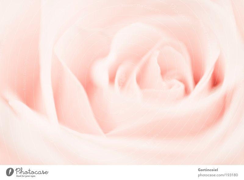 Rosa Kitsch-Rose Natur Pflanze schön Sommer Blume Umwelt Blüte Frühling Feste & Feiern hell rosa Dekoration & Verzierung elegant weich
