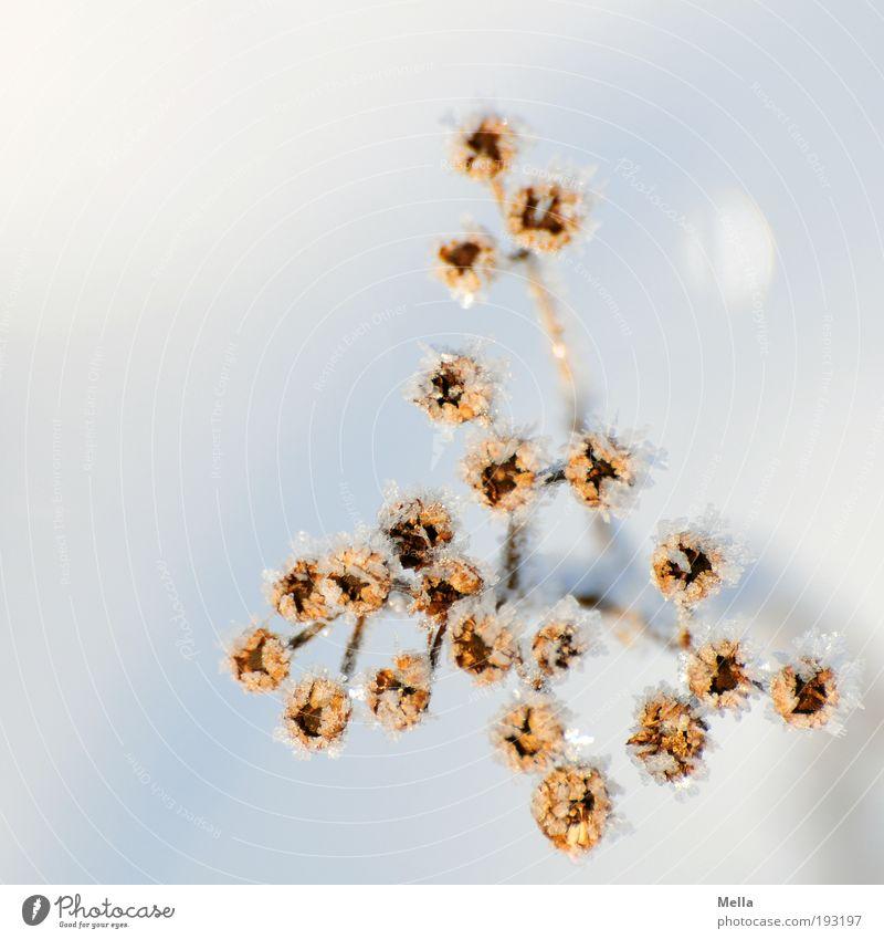 Kein Ende abzusehen Umwelt Natur Pflanze Winter Klima Klimawandel Eis Frost Schnee Blume Blüte verblüht dehydrieren kalt natürlich Verfall Vergänglichkeit