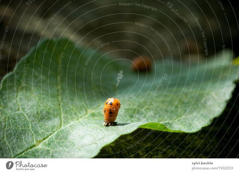 Metamorphose II Umwelt Natur Pflanze Tier Frühling Blatt Garten Wildtier Tierjunges Bewegung festhalten Wachstum grün orange geduldig Leben Beginn geheimnisvoll