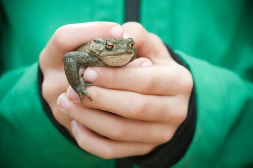 Die Welt gehört in Kinderhände Mensch Kindheit Leben Hand Jacke Tier Wildtier Frosch Tiergesicht festhalten Blick grün Mut Neugier Glätte Kröte Krötenwanderung