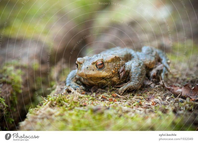 Froschperspektive Umwelt Natur Tier Frühling Pflanze Moos Wildtier Tiergesicht 1 Holz beobachten Erholung sitzen warten hässlich schleimig braun grün Kröte