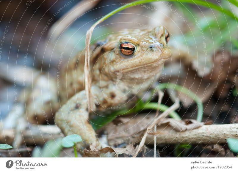 Froschperspektive Umwelt Natur Pflanze Tier Frühling Gras Blatt Wald Küste Seeufer Wildtier Tiergesicht 1 sitzen wandern warten schleimig braun Wachsamkeit