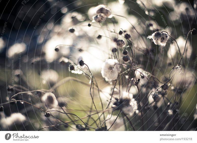 aufblühen Sommer Sonne Natur Pflanze Frühling Sträucher Blüte Grünpflanze Wildpflanze Park hell weich grün weiß Gelassenheit geduldig ruhig Erholung Idylle