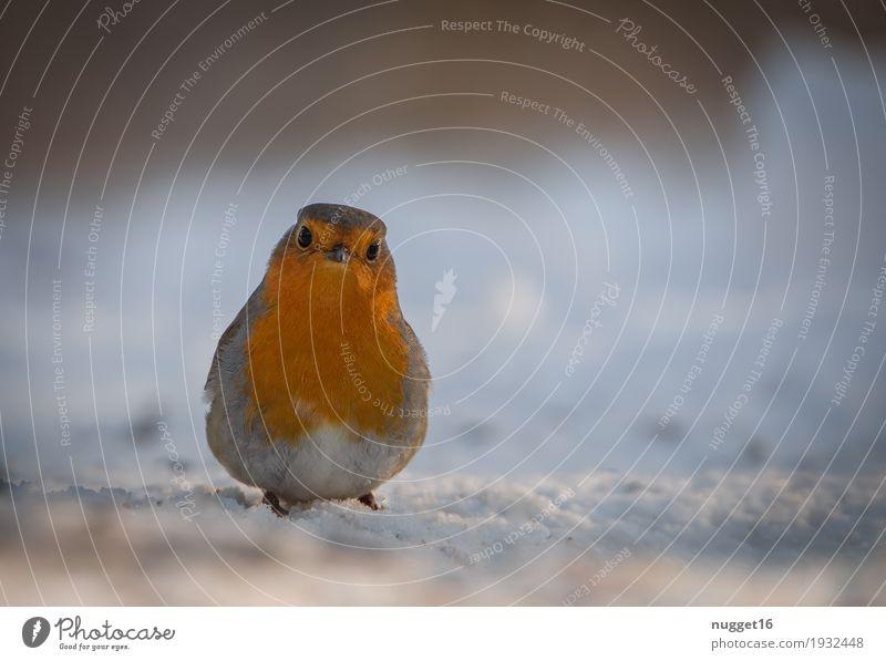 Rotkehlchen Natur schön weiß Tier Winter schwarz Umwelt Wiese lustig Schnee Garten braun Vogel orange Park träumen