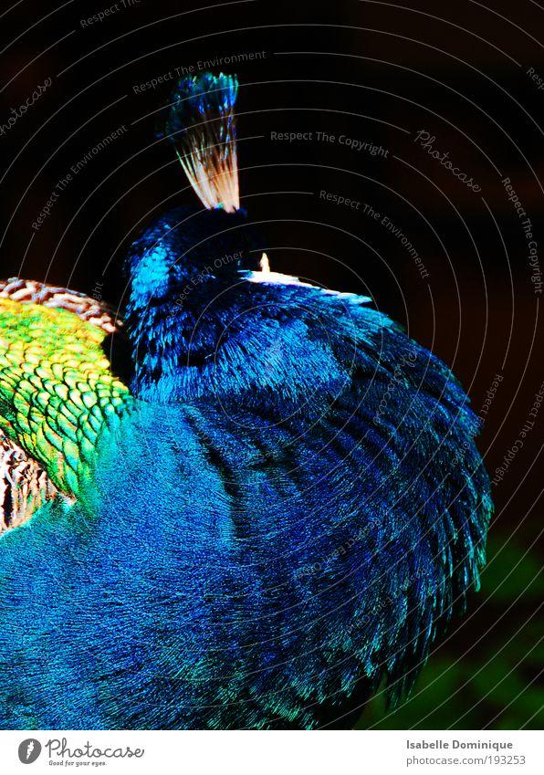 Pfaublau blau Tier Vogel elegant ästhetisch Gelassenheit Wildtier Stolz geduldig Pfau