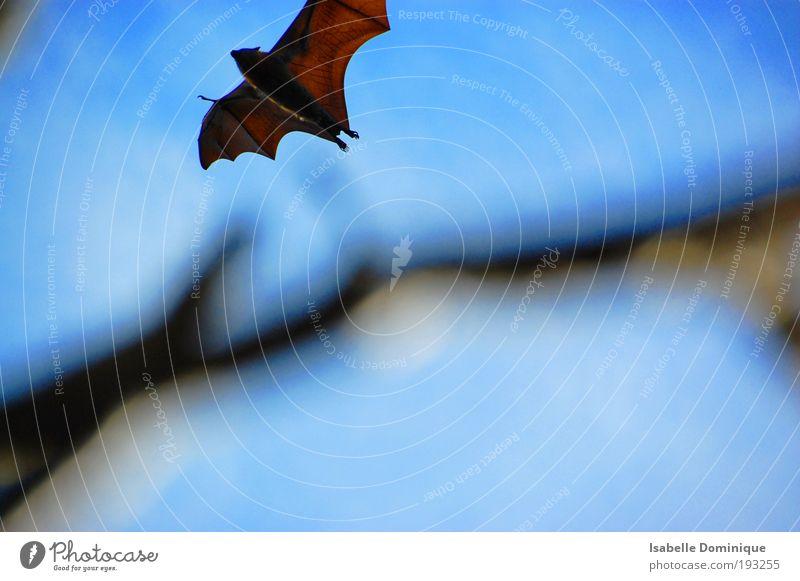 flying fox blau Tier Freiheit braun fliegen Flügel Gelassenheit Wildtier beweglich Fledermäuse