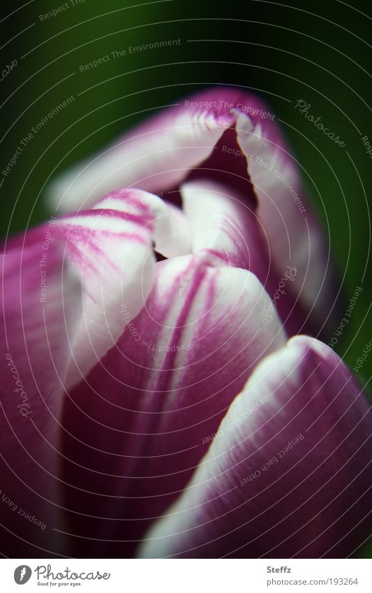 sanftes Frühlingserwachen Natur weiß Pflanze Blume Traurigkeit Blüte natürlich frisch weich Blühend violett zart nah Tulpe