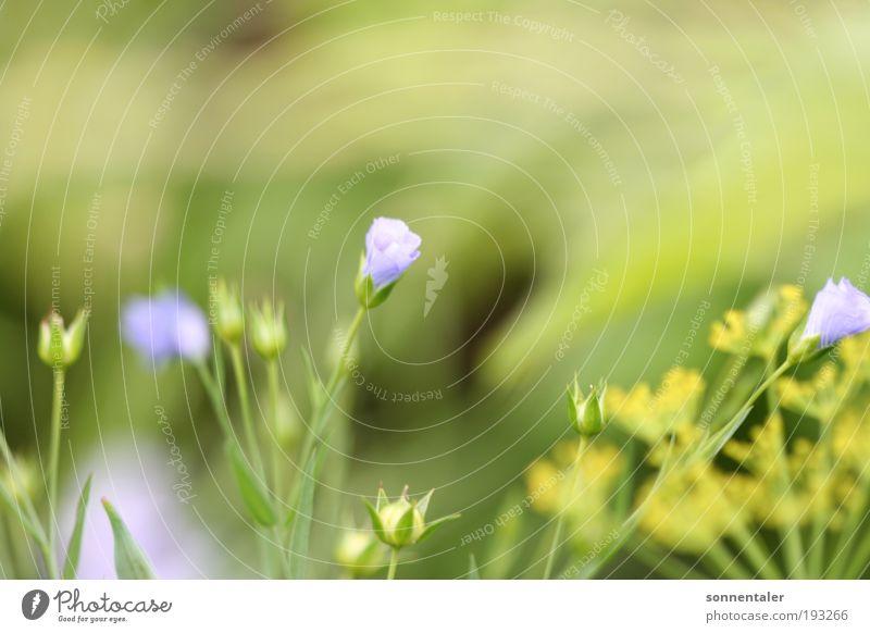 blühmelein Leben Natur Pflanze Sommer Schönes Wetter Blume Gras Blatt Blüte dünn frisch blau gelb grün Fröhlichkeit Lebensfreude Frühlingsgefühle Verliebtheit