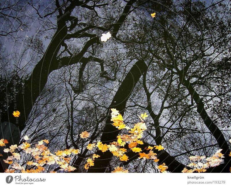 November Natur Pflanze Wasser Winter Baum Eiche Teich verblüht kalt nass blau braun gelb schwarz Vergänglichkeit Blatt Eichenblatt Farbfoto Gedeckte Farben
