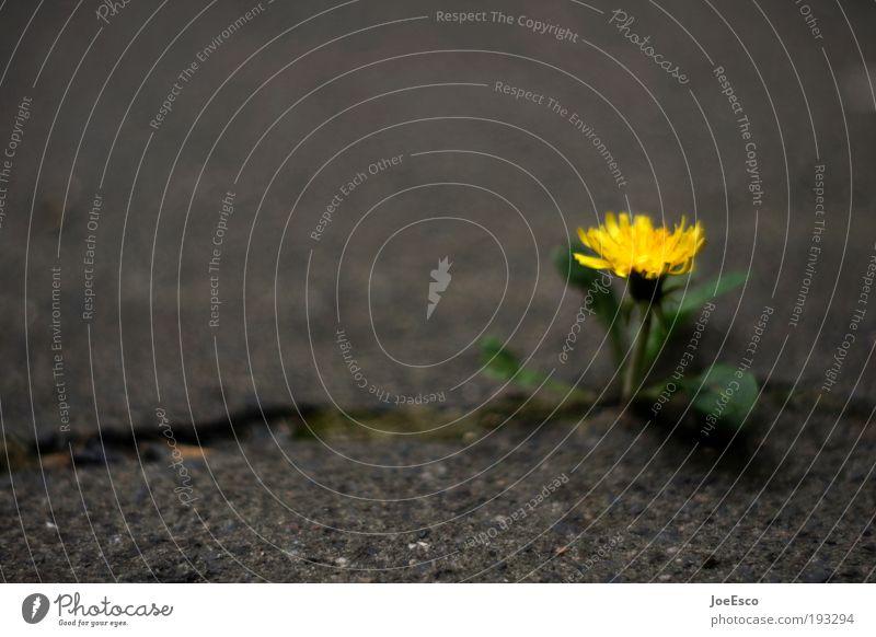 power of nature schön Pflanze Einsamkeit dunkel Umwelt Kraft Beton Erfolg Wachstum Boden Blume außergewöhnlich Bildung Mut stark Löwenzahn