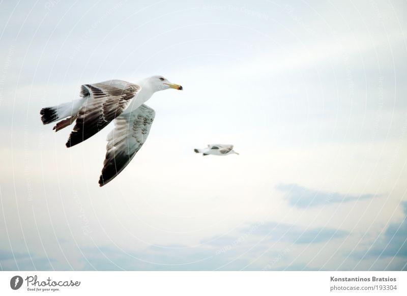 Flügelschlag Freiheit Natur Himmel Wolken Sommer Vogel 2 Tier fliegen frei weich Zufriedenheit Ziel Möwe Schweben Farbfoto Außenaufnahme Luftaufnahme