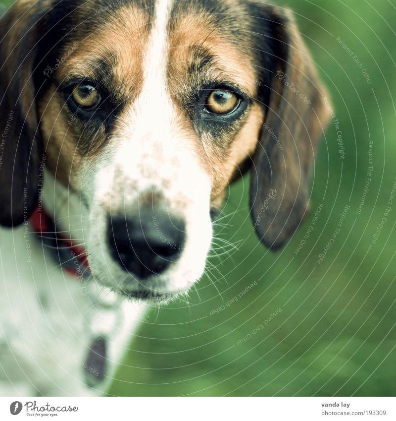 Skeptisch Tier Haustier Hund 1 Tierliebe Treue Beagle laufhund Halsband Hundehalsband Hundekopf Hundeblick Hundeschnauze Hundemarke Hundeauge Farbfoto