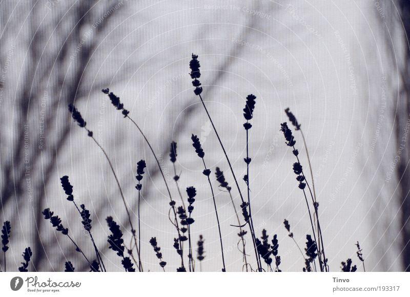 warten... (2) Natur Pflanze Baum Sträucher dunkel kalt Traurigkeit Trauer Einsamkeit geheimnisvoll Unlust Vergänglichkeit Lavendel trist Zweige u. Äste