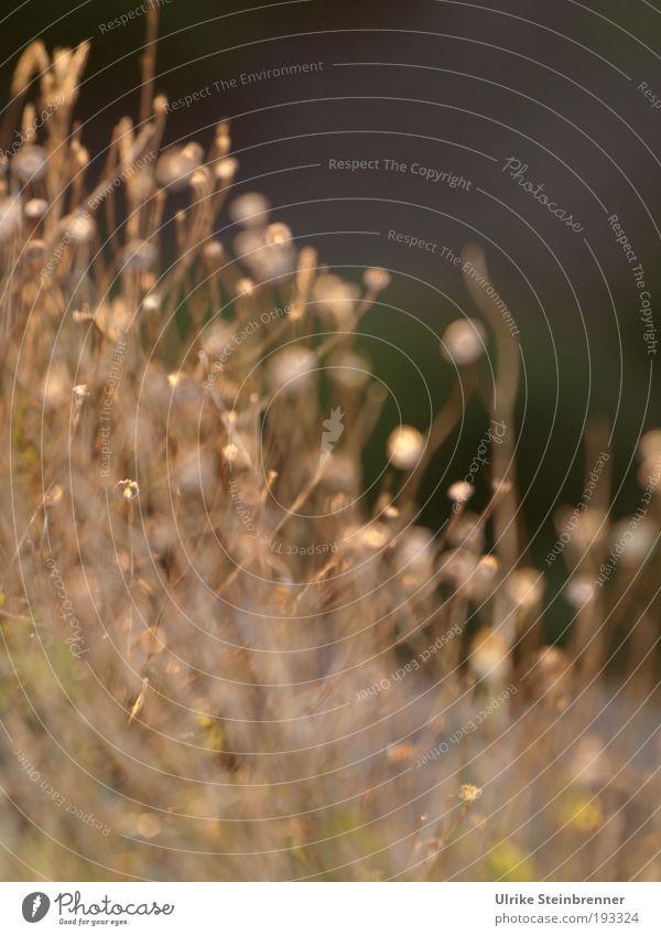 Trockenblumen Umwelt Natur Pflanze Gras Blatt Blüte trocken Tod verdorrt standhaft Feld Insel Sardinien alt schaukeln stehen verblüht dehydrieren ästhetisch