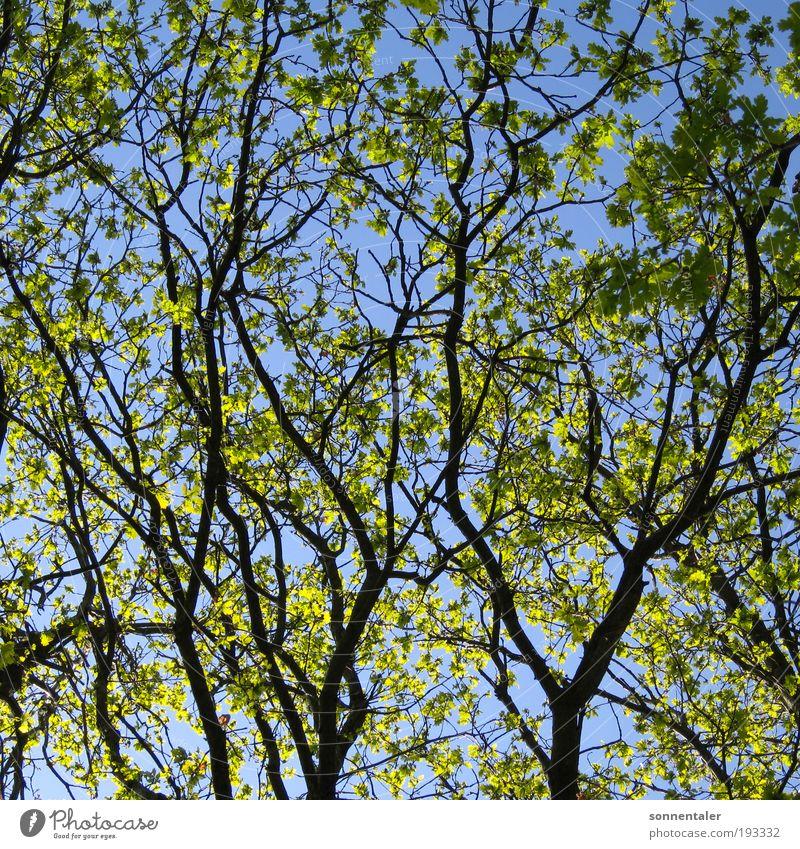 ästhetisch Natur Pflanze Himmel Sonne Sonnenlicht Frühling Sommer Schönes Wetter Baum Blatt Park Wald träumen Wachstum Freundlichkeit blau grün Leben Ausdauer