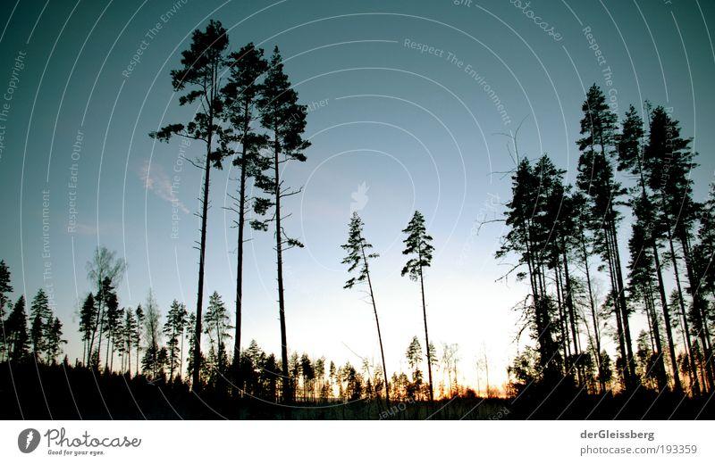 zwielichtige Angelegenheit #2 Natur Landschaft Pflanze Himmel Sonne Sonnenaufgang Sonnenuntergang Sonnenlicht Winter Eis Frost Baum Wald hell hoch grün blau