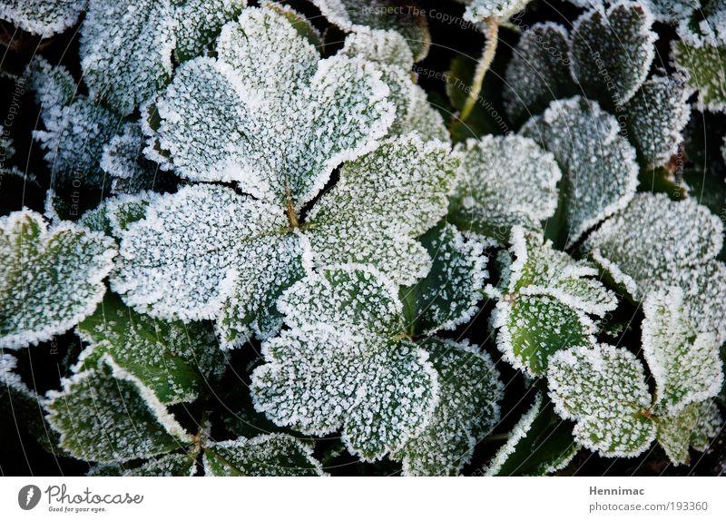 Abgehärtet. Winter Natur Pflanze Frühling Herbst Eis Frost Efeu Blatt Grünpflanze Park Wachstum kalt grün weiß Willensstärke Selbstlosigkeit Hoffnung Erwartung