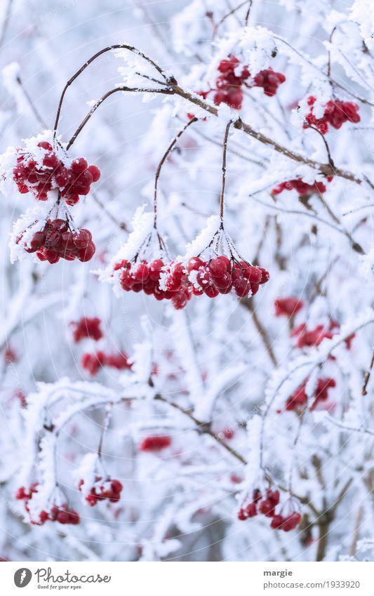 ...aber bitte mit Sahne! Rote Beeren gefrohren  in Eis und Schnee Winter Umwelt Frost Schneefall Pflanze Baum frieren hängen rot weiß Vogelbeerbaum Vogelbeeren