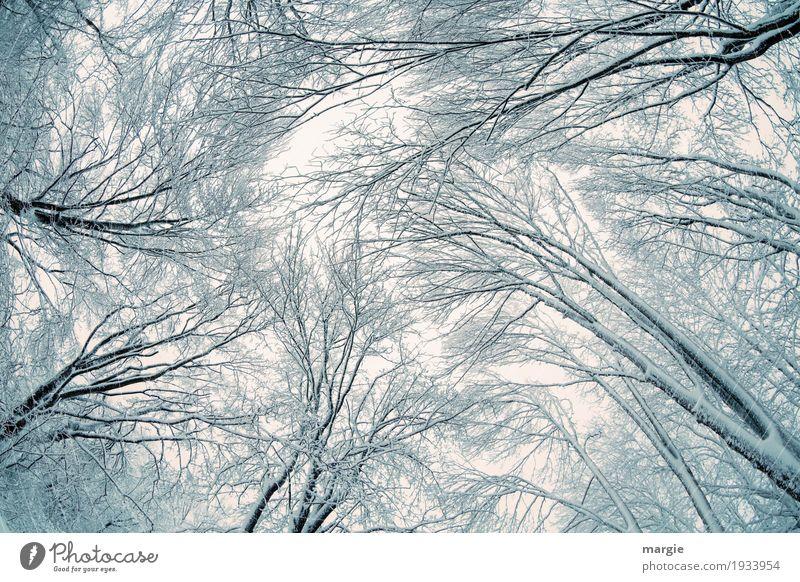 Winter - Strömung Hohe Bäume im Winter mit Eis und Schnee Winterurlaub Natur Klima Frost Schneefall Pflanze Baum Wald Wachstum schwarz weiß Freiheit Frieden