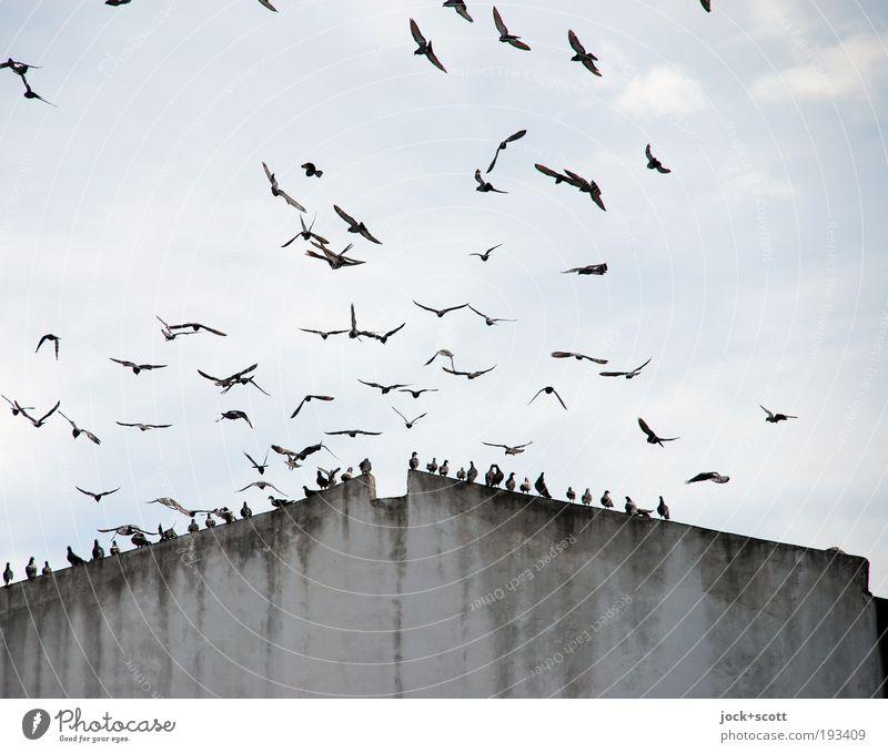 ungehemmte Vögelei Himmel Wolken Umwelt Bewegung Gebäude grau oben fliegen Vogel Zusammensein trist sitzen Klima ästhetisch Tiergruppe Dach