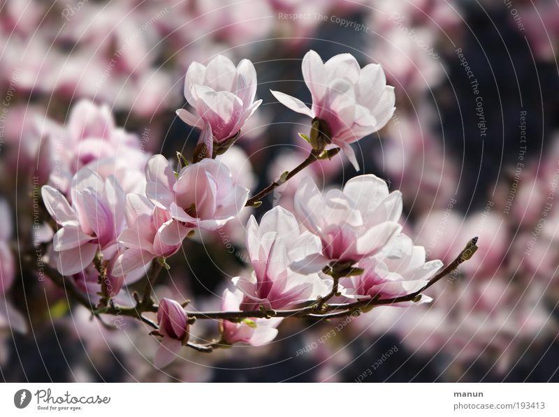 Magnolienblüte Duft Gartenarbeit Gärtnerei Natur Frühling Blüte Magnoliengewächse Magnolienbaum Freundlichkeit Fröhlichkeit frisch hell rosa Frühlingsgefühle