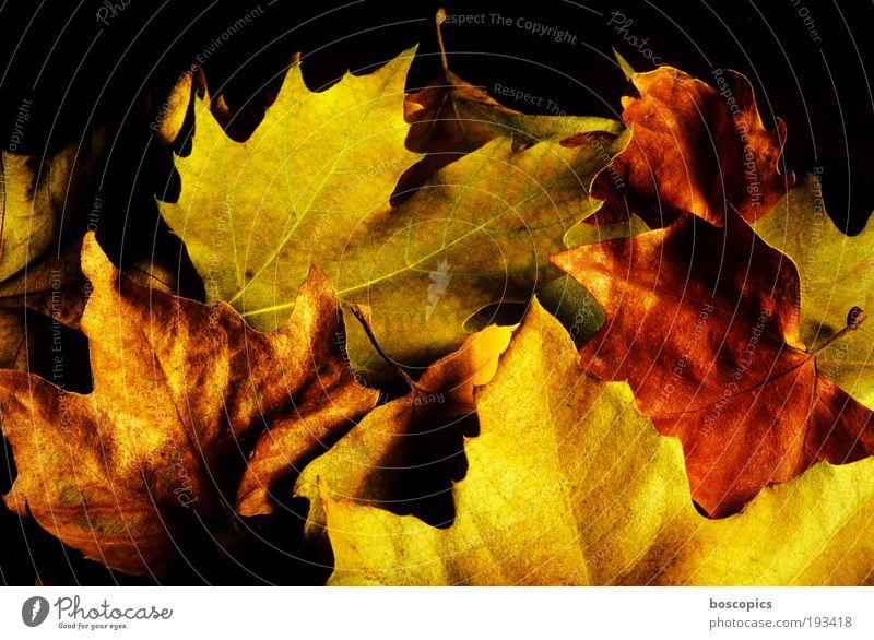 herbst Natur Pflanze Herbst Blume Blatt braun gelb gold grün Farbfoto mehrfarbig Außenaufnahme Detailaufnahme Menschenleer Tag Licht Schatten