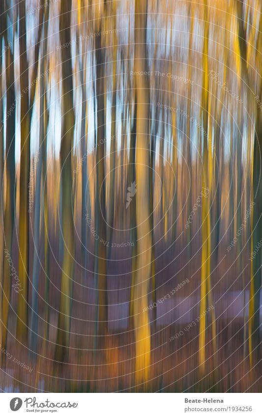 Herbstleuchten Natur Pflanze Urelemente Himmel Sonne Baum Nutzpflanze Wald Holz atmen hell blau braun gelb Stimmung Kraft ästhetisch Farbe Beleuchtung malerisch