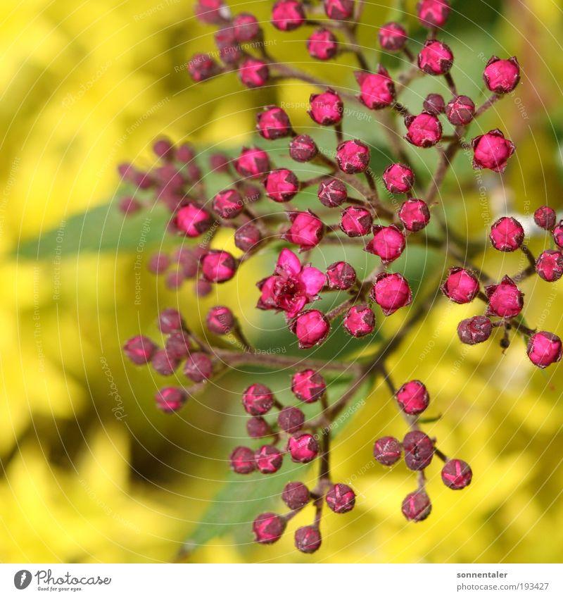 flieda Natur Pflanze grün Sommer Baum Blume Blatt gelb Blüte Frühling natürlich Glück hell rosa Park leuchten