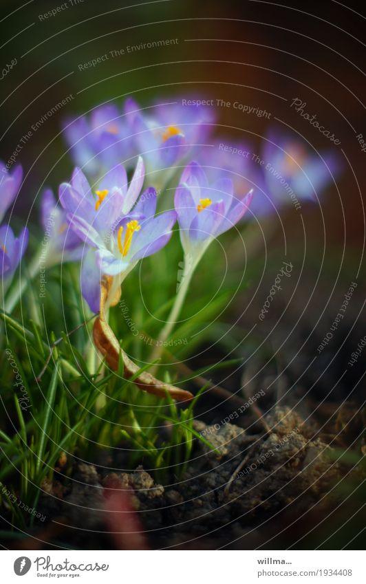 Krokusse im Frühling Frühblüher Frühlingsblume violett zart Natur Pflanze