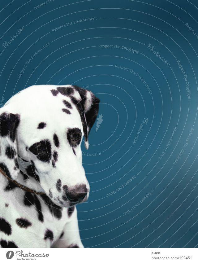 Punkt, Punkt, Komma, Strich Hund blau weiß Tier schwarz niedlich Fell Tiergesicht Haustier Tierzucht Treue Zuneigung Tierliebe gepunktet Begleiter Beruf