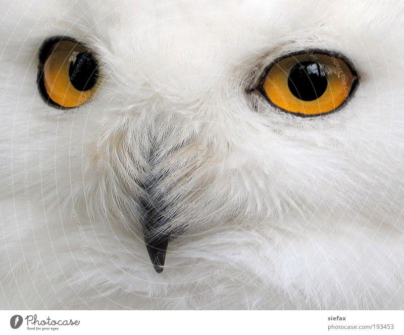 Eulenblick weiß Auge Vogel wild Sicherheit bedrohlich Kommunizieren Tiergesicht Neugier beobachten geheimnisvoll Mut Wachsamkeit Kontrolle Interesse wählen