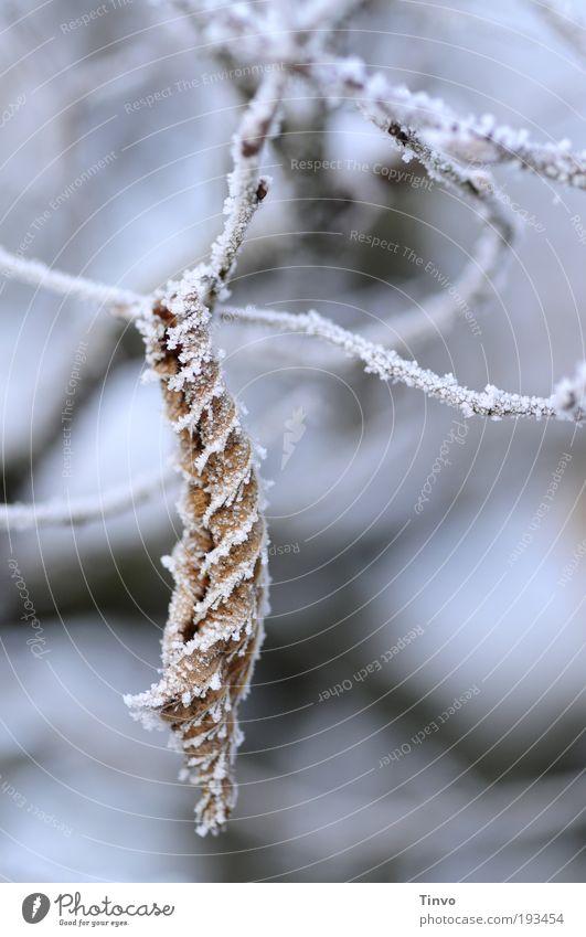witterungsbedingt Natur Winter Eis Frost Blatt dehydrieren kalt zusammengerollt Zweige u. Äste Buchenhecke Buchenblatt hängend Gedeckte Farben Außenaufnahme