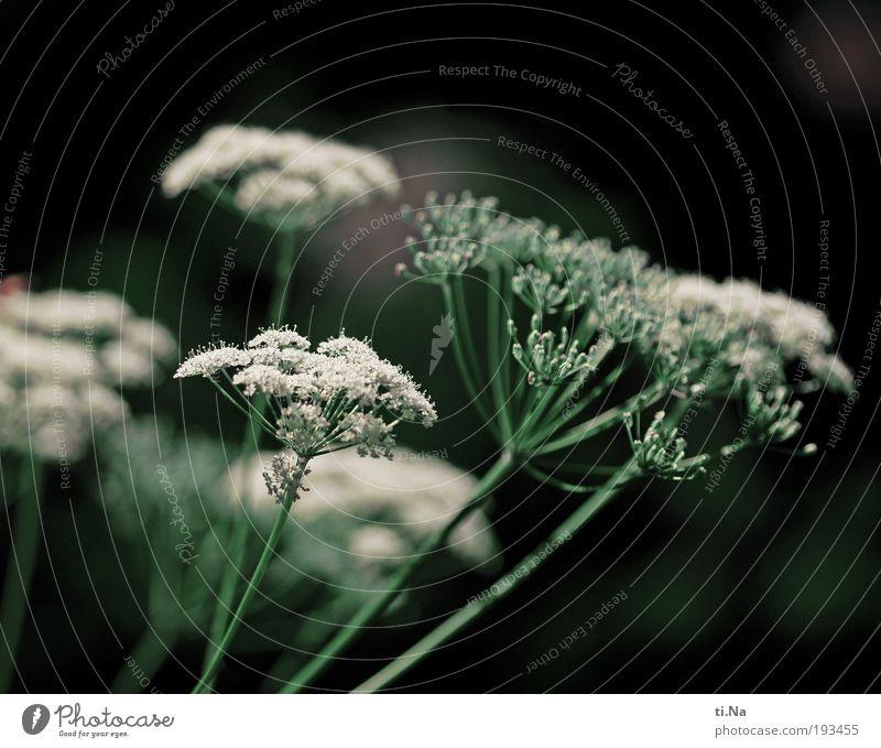 weiß wie Schnee Umwelt Natur Landschaft Tier Klima Pflanze Blume Sträucher Wildpflanze Engelswurz Giersch Heilpflanzen Park Wiese Feld Blühend Wachstum