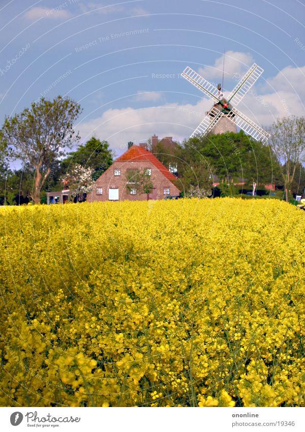 Gelbschwelgen gelb Landschaft Küste Bauernhof Niedersachsen Raps Windmühle Carolinensiel